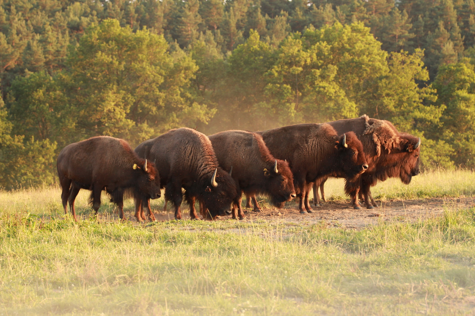 bizoní farma