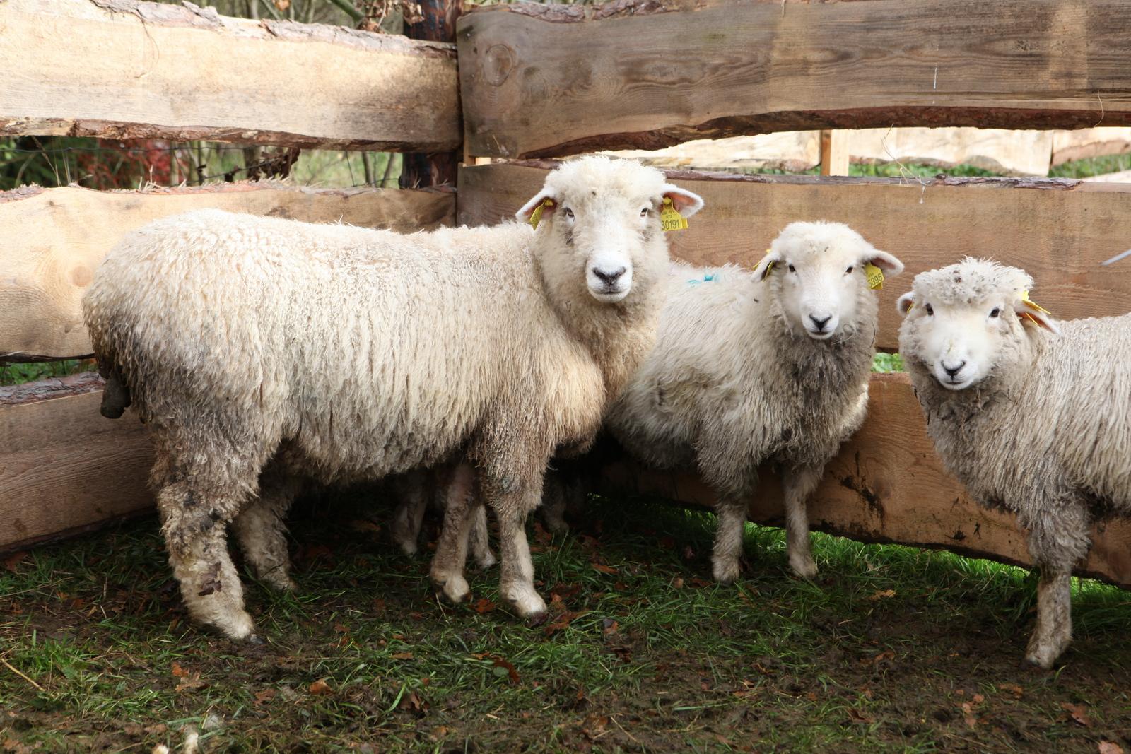 ovečky na farmě Smrhov