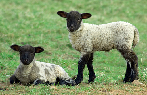 vlastní chov ovcí chata Viktorka Pec pod Sněžkou