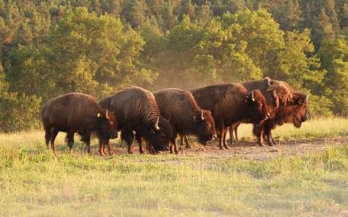 naši bizoni