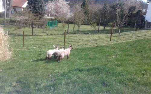 Ovečky na chalupě