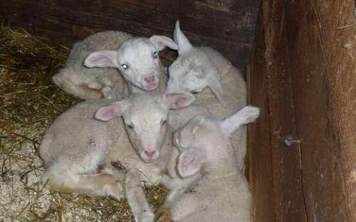私たちの羊