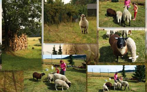 ovce Hartmanice