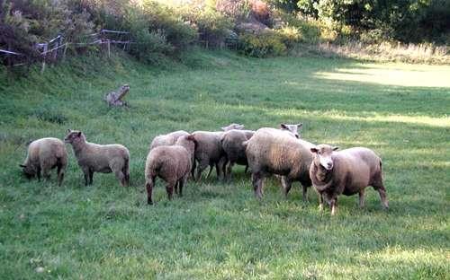 Nasze owce