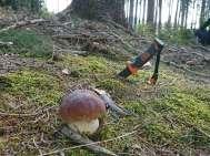 Cogumelos - Boletus edulis